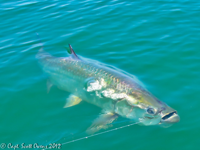Fly Fishing for tarpon coastal Georgia